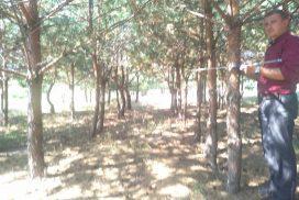 14-річні лісові культури сосни звичайної